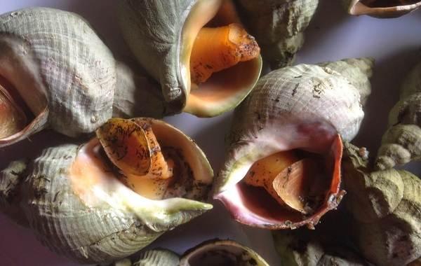 Трубач-моллюск-Описание-особенности-виды-фото-и-среда-обитания-трубача-2