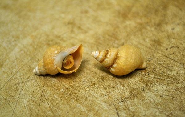 Трубач-моллюск-Описание-особенности-виды-фото-и-среда-обитания-трубача-6