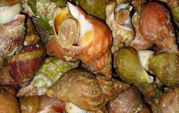 Трубач-моллюск-Описание-особенности-виды-фото-и-среда-обитания-трубача-8