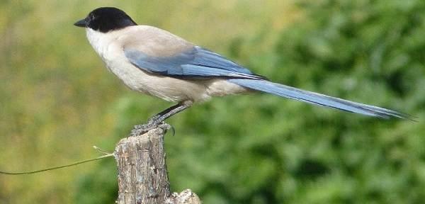 Голубая-сорока-птица-Описание-особенности-образ-жизни-и-среда-обитания-сороки-1