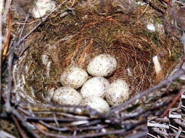 Голубая-сорока-птица-Описание-особенности-образ-жизни-и-среда-обитания-сороки-10