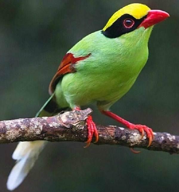 Голубая-сорока-птица-Описание-особенности-образ-жизни-и-среда-обитания-сороки-6
