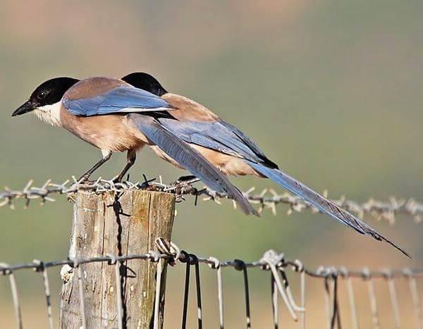 Голубая-сорока-птица-Описание-особенности-образ-жизни-и-среда-обитания-сороки-8
