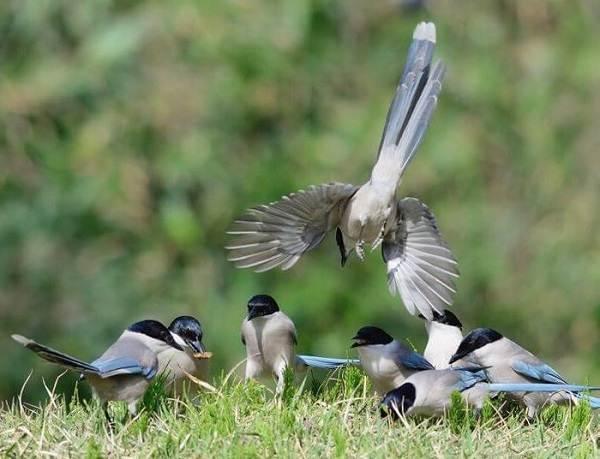 Голубая-сорока-птица-Описание-особенности-образ-жизни-и-среда-обитания-сороки-9