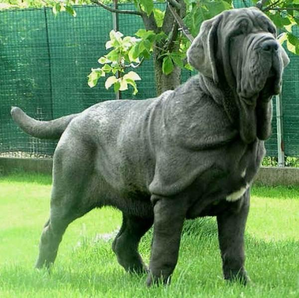 Мастино-Неаполитано-собака-Описание-особенности-характер-и-уход-за-породой-1