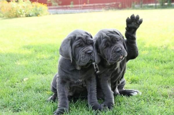 Мастино-Неаполитано-собака-Описание-особенности-характер-и-уход-за-породой-2