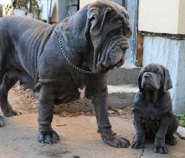 Мастино-Неаполитано-собака-Описание-особенности-характер-и-уход-за-породой-3