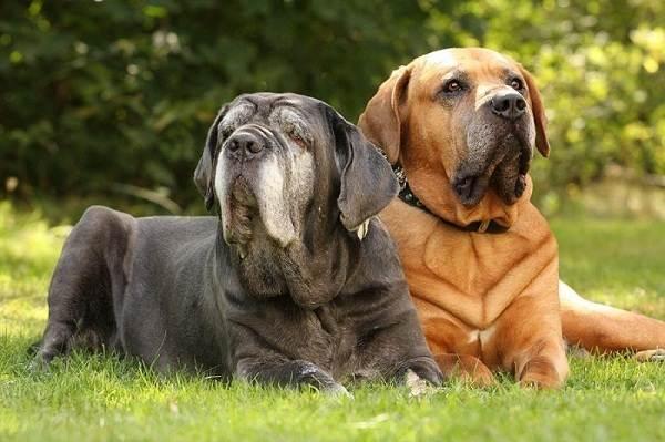 Мастино-Неаполитано-собака-Описание-особенности-характер-и-уход-за-породой-8