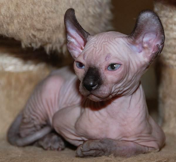Эльф-кошка-Описание-особенности-характер-питание-и-фото-породы-1
