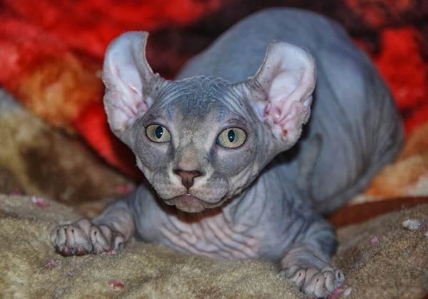 Эльф-кошка-Описание-особенности-характер-питание-и-фото-породы-3