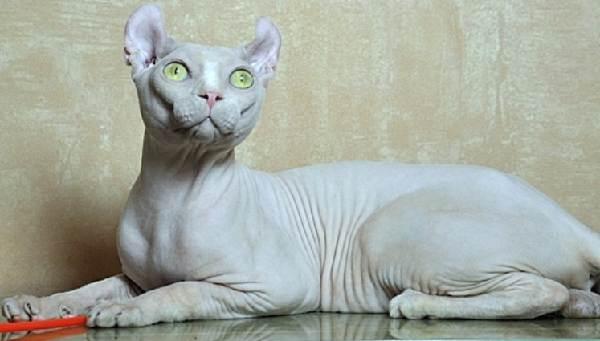 Эльф-кошка-Описание-особенности-характер-питание-и-фото-породы-4