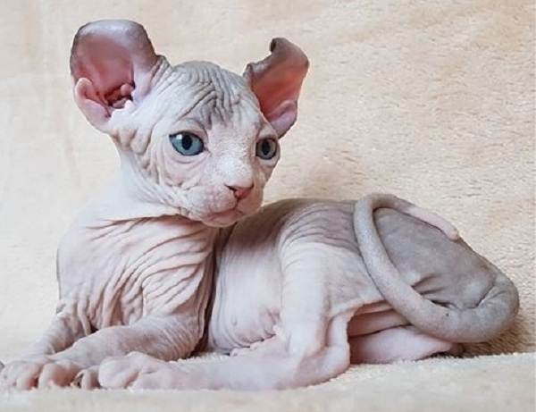 Эльф-кошка-Описание-особенности-характер-питание-и-фото-породы-5