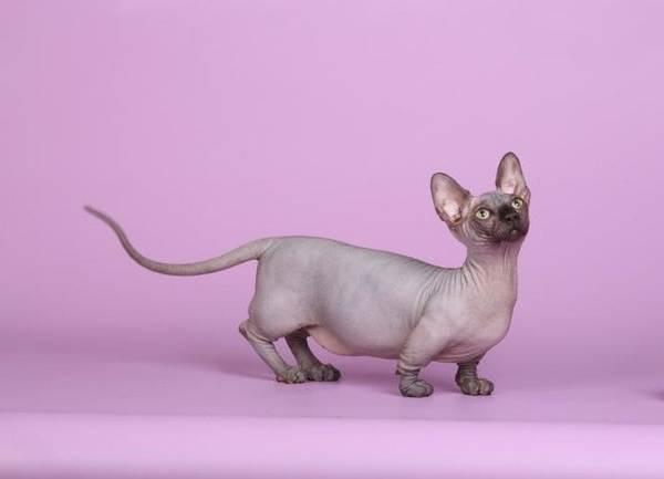 Эльф-кошка-Описание-особенности-характер-питание-и-фото-породы-8
