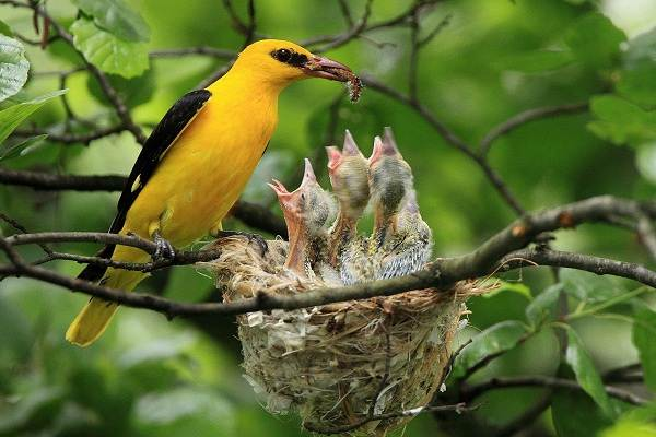 Иволга-птица-Образ-жизни-среда-обитания-питание-и-виды-иволги-1