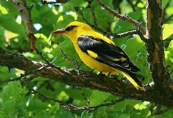Иволга-птица-Образ-жизни-среда-обитания-питание-и-виды-иволги-2