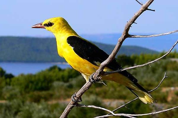 Иволга-птица-Образ-жизни-среда-обитания-питание-и-виды-иволги-3