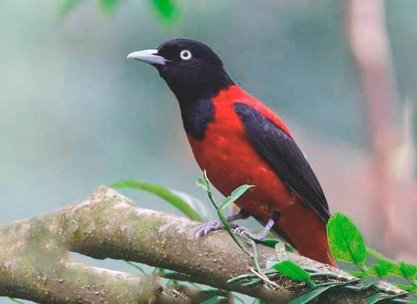 Иволга-птица-Образ-жизни-среда-обитания-питание-и-виды-иволги-4