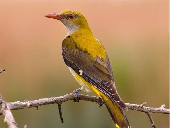 Иволга-птица-Образ-жизни-среда-обитания-питание-и-виды-иволги-6