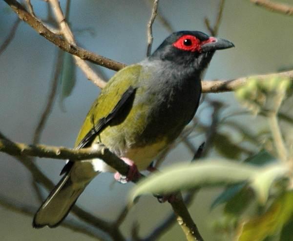 Иволга-птица-Образ-жизни-среда-обитания-питание-и-виды-иволги-9