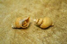 Трубач моллюск. Описание, особенности, виды, фото и среда обитания трубача