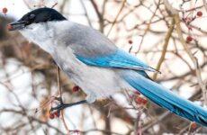 Голубая сорока птица. Описание, особенности, образ жизни и среда обитания сороки