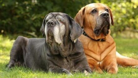 Мастино Неаполитано собака. Описание, особенности, характер и уход за породой