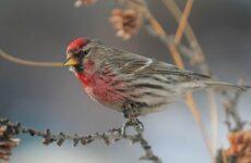 Чечётка птица. Описание, виды, образ жизни, среда обитания и фото птицы