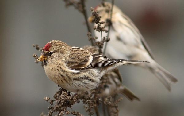 Чечётка-птица-Описание-виды-образ-жизни-среда-обитания-и-фото-птицы-10