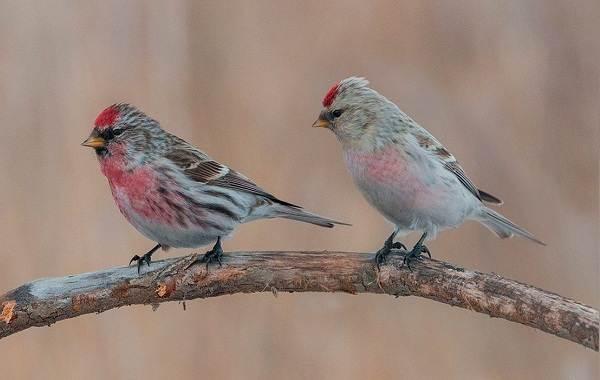 Чечётка-птица-Описание-виды-образ-жизни-среда-обитания-и-фото-птицы-2
