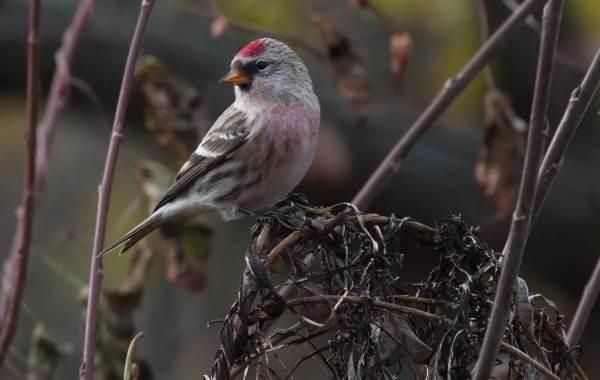 Чечётка-птица-Описание-виды-образ-жизни-среда-обитания-и-фото-птицы-3