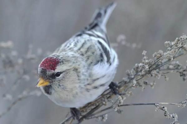Чечётка-птица-Описание-виды-образ-жизни-среда-обитания-и-фото-птицы-4