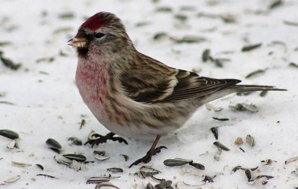 Чечётка-птица-Описание-виды-образ-жизни-среда-обитания-и-фото-птицы-6