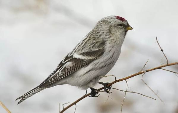 Чечётка-птица-Описание-виды-образ-жизни-среда-обитания-и-фото-птицы-7