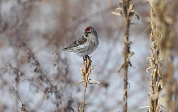 Чечётка-птица-Описание-виды-образ-жизни-среда-обитания-и-фото-птицы-8