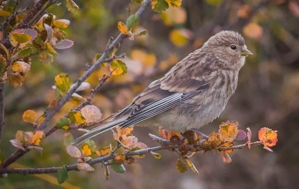 Чечётка-птица-Описание-виды-образ-жизни-среда-обитания-и-фото-птицы-9