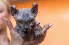 Эльф кошка. Описание, особенности, характер, питание и фото породы