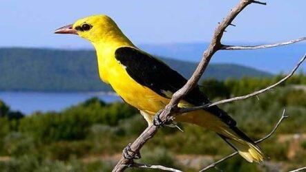 Иволга птица. Образ жизни, среда обитания, питание и виды иволги