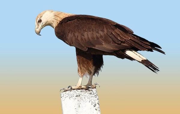 Орлан-белохвост-Описание-особенности-образ-жизни-и-среда-обитания-птицы-10