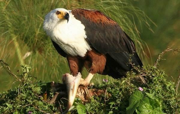 Орлан-белохвост-Описание-особенности-образ-жизни-и-среда-обитания-птицы-11