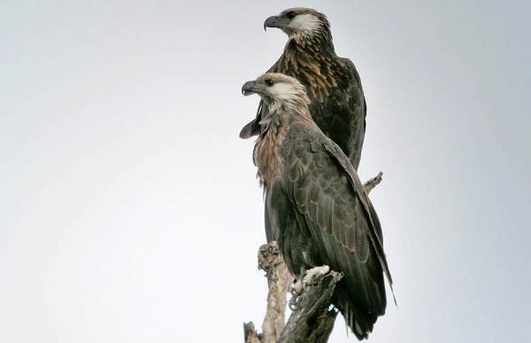 Орлан-белохвост-Описание-особенности-образ-жизни-и-среда-обитания-птицы-12