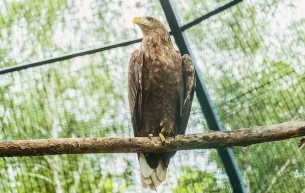 Орлан-белохвост-Описание-особенности-образ-жизни-и-среда-обитания-птицы-13