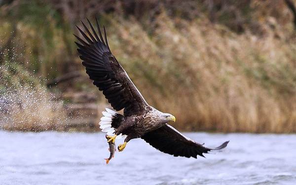 Орлан-белохвост-Описание-особенности-образ-жизни-и-среда-обитания-птицы-2