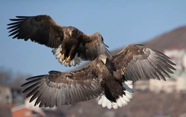 Орлан-белохвост-Описание-особенности-образ-жизни-и-среда-обитания-птицы-4