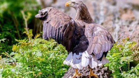 Орлан-белохвост. Описание, особенности, образ жизни и среда обитания птицы