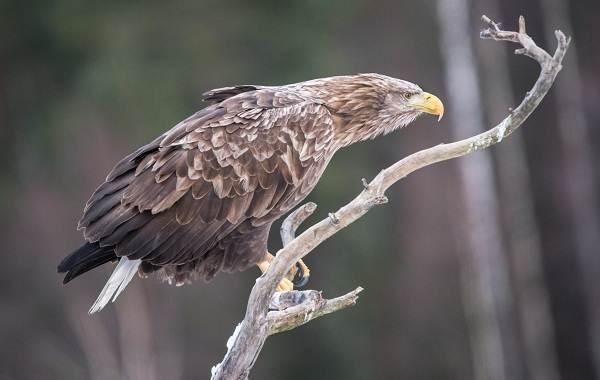Орлан-белохвост-Описание-особенности-образ-жизни-и-среда-обитания-птицы-5