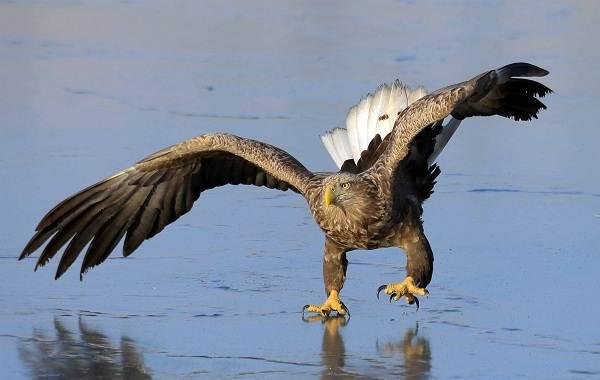 Орлан-белохвост-Описание-особенности-образ-жизни-и-среда-обитания-птицы-6