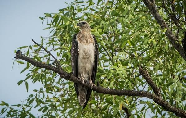 Орлан-белохвост-Описание-особенности-образ-жизни-и-среда-обитания-птицы-7