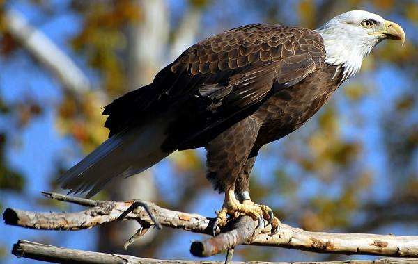 Орлан-белохвост-Описание-особенности-образ-жизни-и-среда-обитания-птицы-8