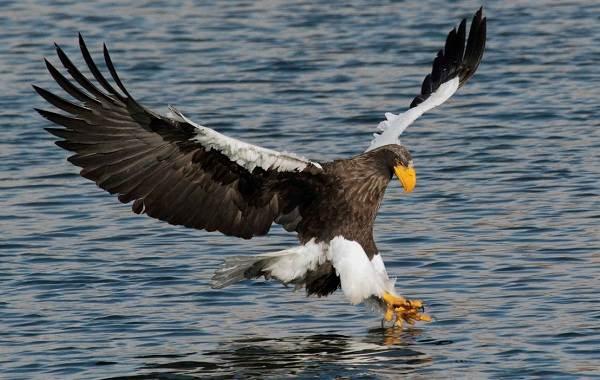 Орлан-белохвост-Описание-особенности-образ-жизни-и-среда-обитания-птицы-9
