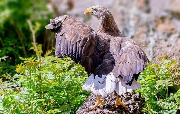 Орлан-белохвост-Описание-особенности-образ-жизни-и-среда-обитания-птицы